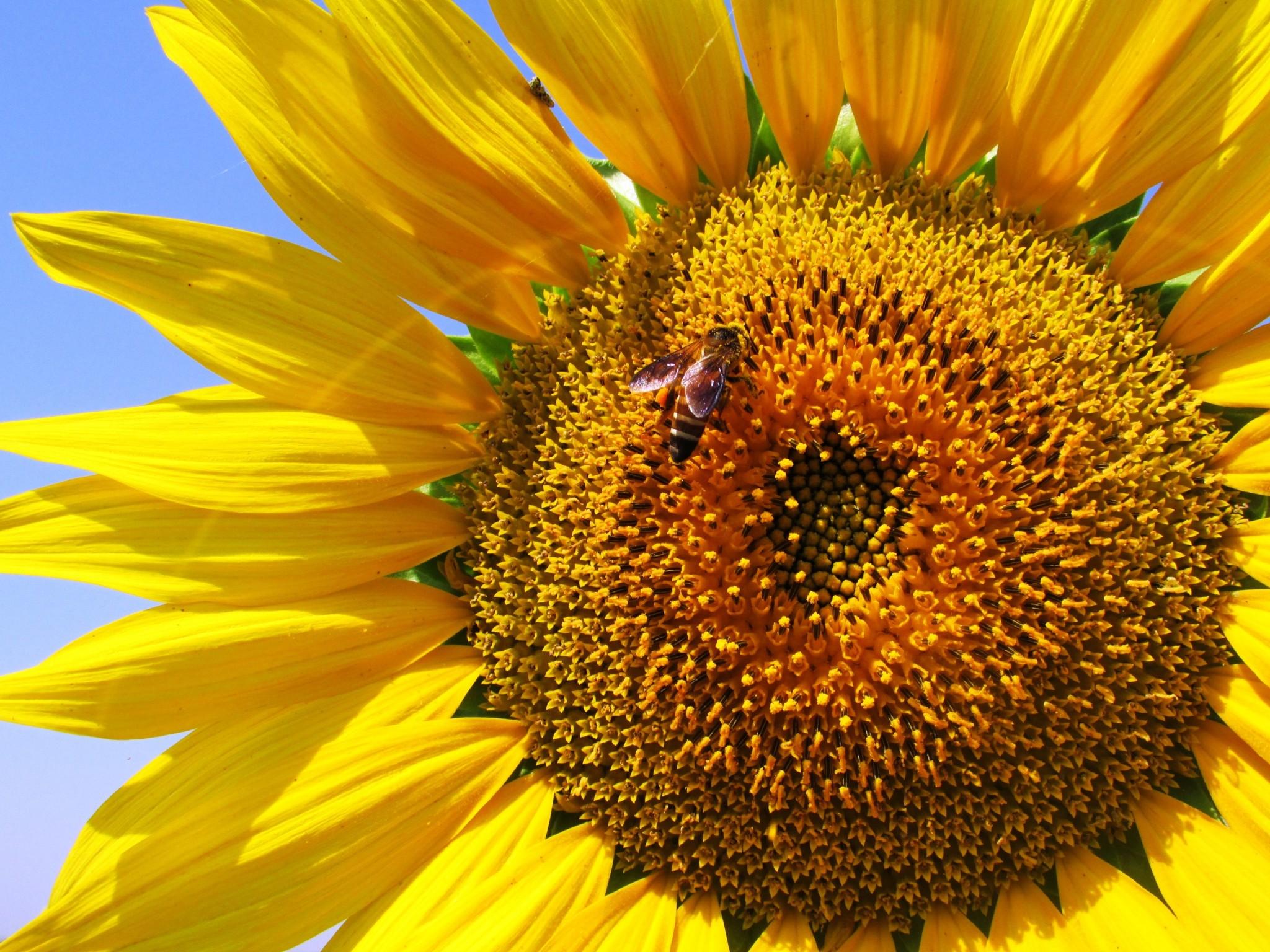 sunflower-268012.jpg